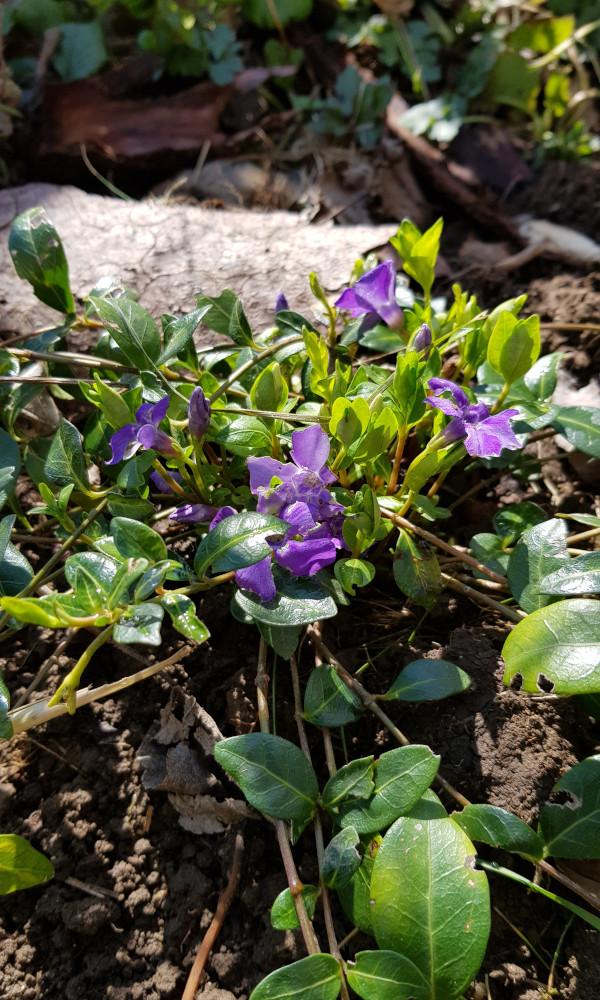 Frühlingsblumen bei Schamane Gerhard Zirkel im Garten